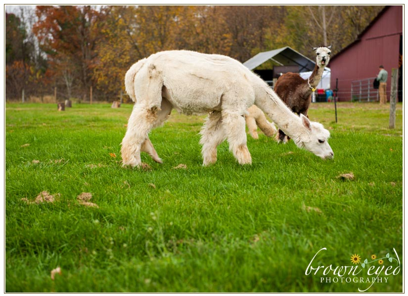 Alpaca-Farm-Wedding